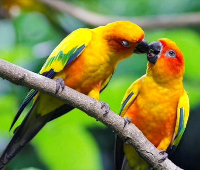 Two conures on branch
