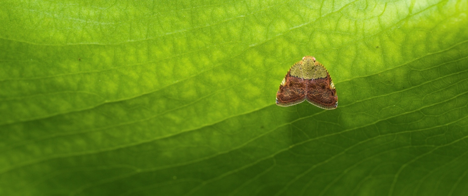 Small Winged Bug on Large Leaf's Underside