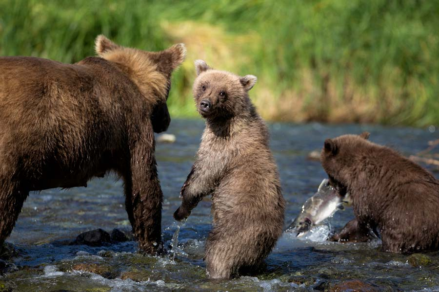 brown-bears-salmon