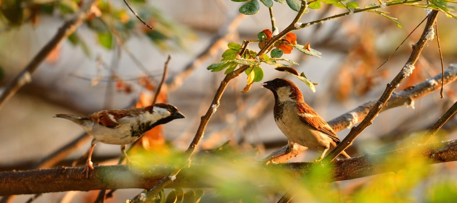 sparrows in the trees